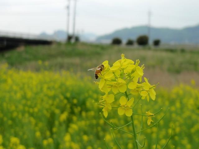 L1070434 菜の花とミツバチ