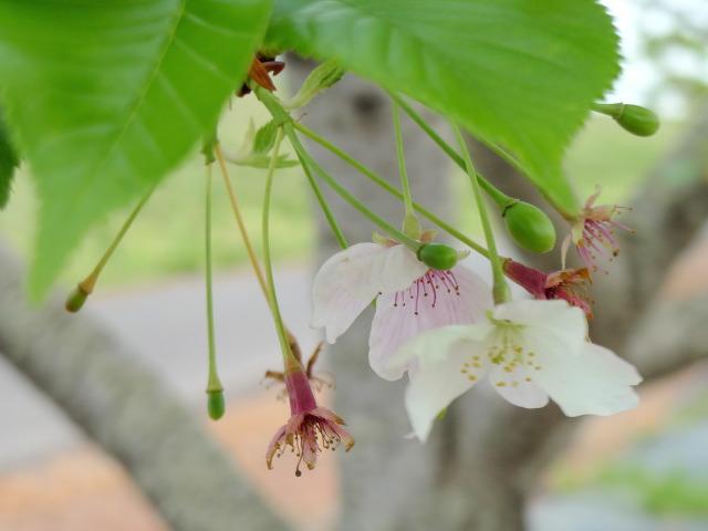 L1070478 桜花びら2