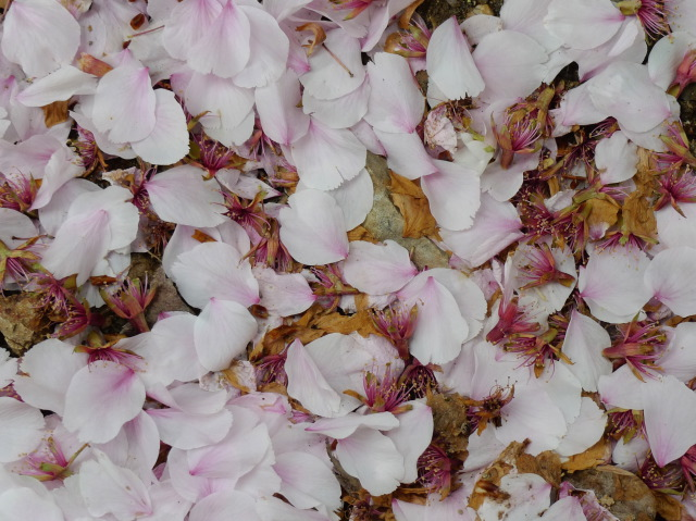L1070496 地上の桜