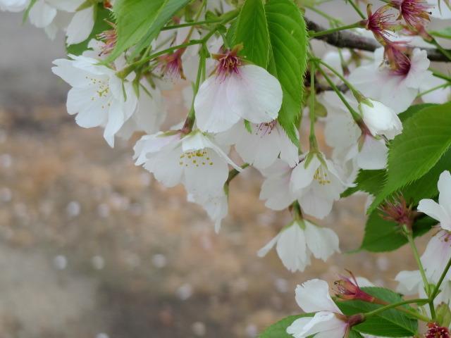 L1070508 桜散る
