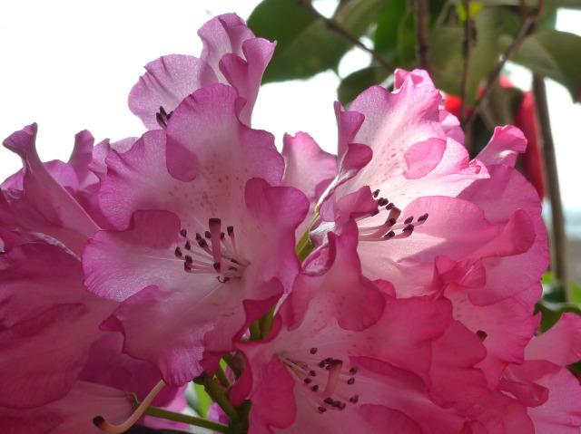 L1070930 透過する光ピンク花