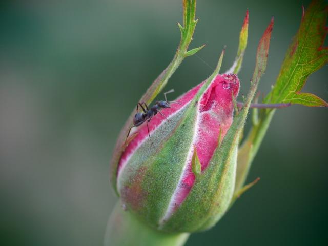 P5290015 蟻と薔薇
