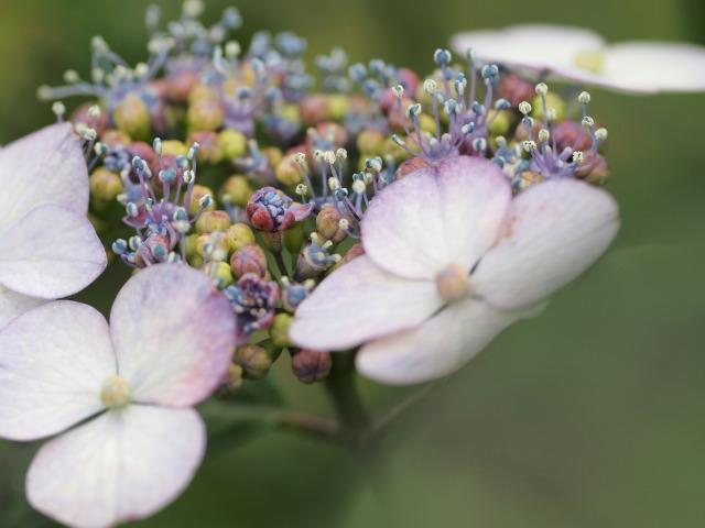 P6050434 紫陽花