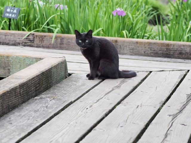P6050448 黒猫