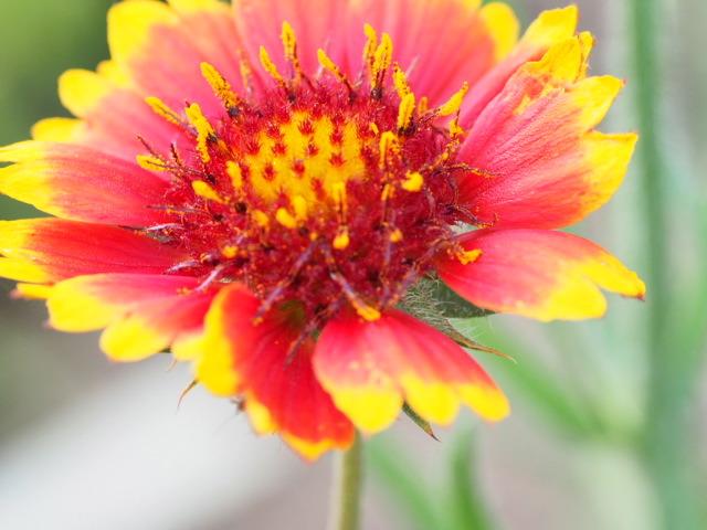 P6080142 赤黄色花