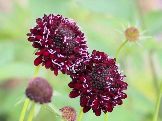 P6130313 紅色の花