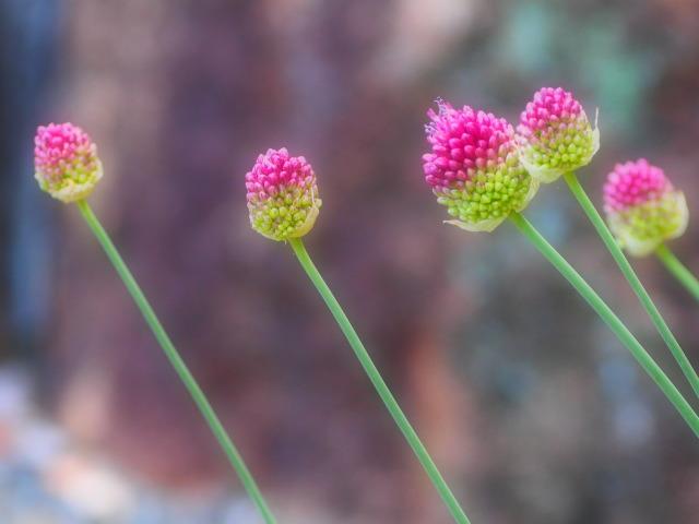 P6130239 メルヘンお花