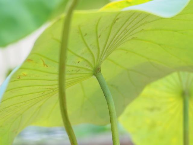 P6240063 蓮の葉2
