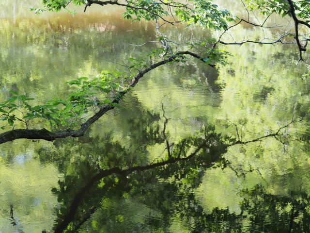 P7150133 湖面の樹2