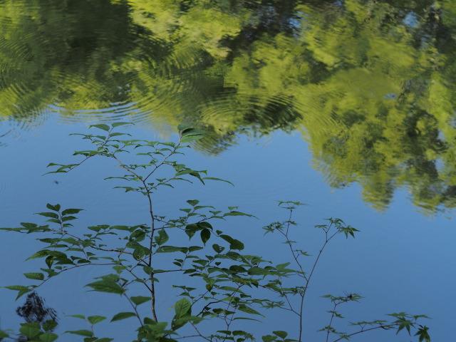 P7150166 湖面の樹