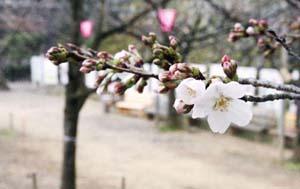 高知の桜開花メール