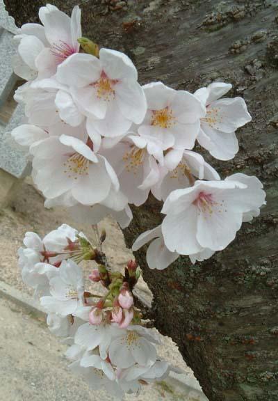 桜4UPメール