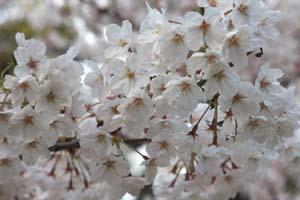 桜Up1メール