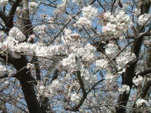 桜 満開メール
