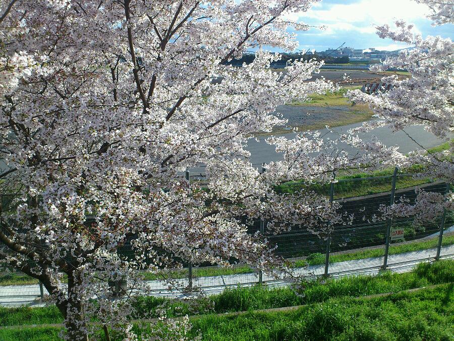 伊丹空港の桜PartⅡ@下河原緑地