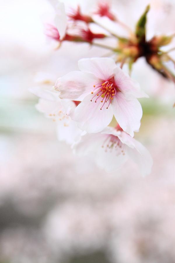 桜色@下河原緑地