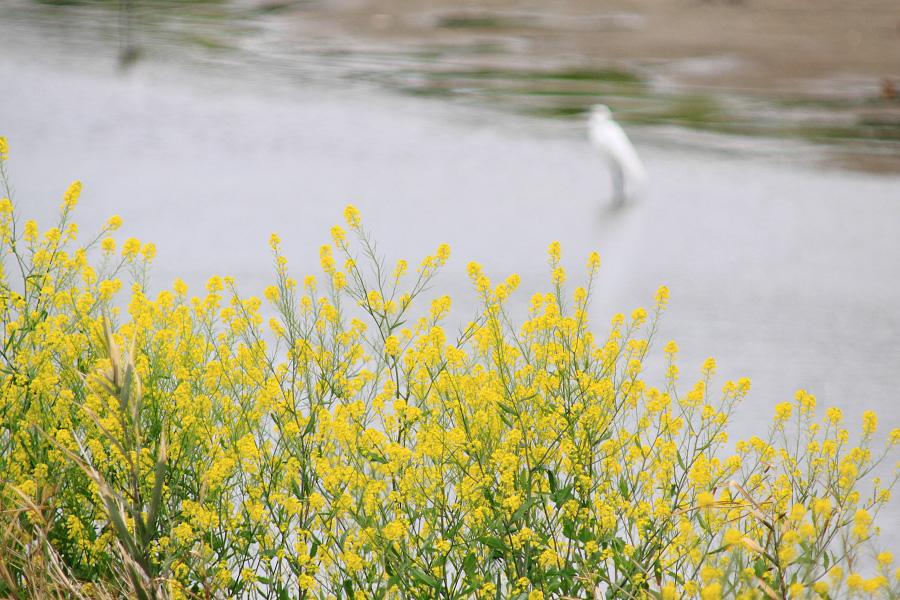 猪名川河川敷の菜の花@RWY14Rエンド・猪名川土手