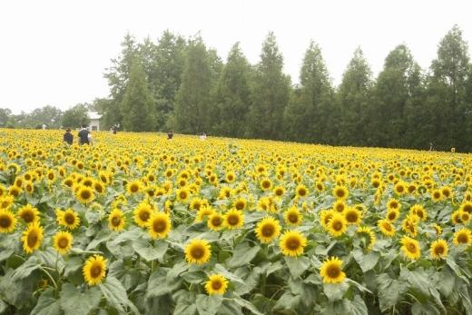 2014.08.17 世羅ひまわり 002