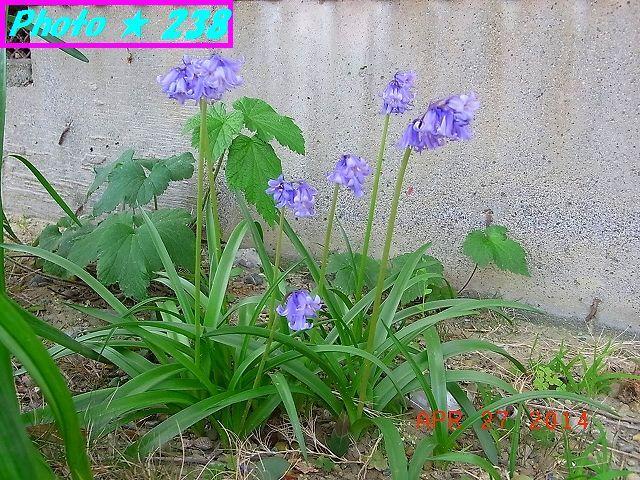 ケシ科 キケマン属の花?