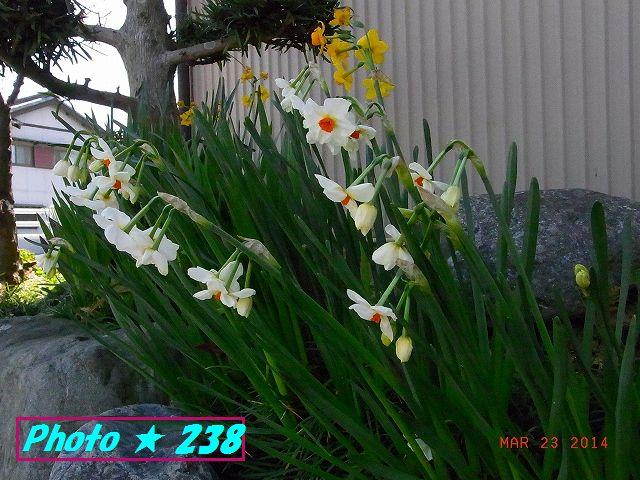 白と黄色の水仙