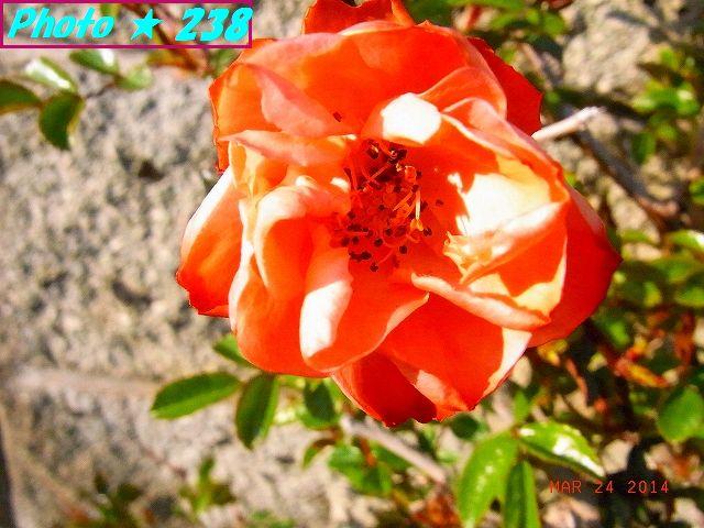 薔薇の接写