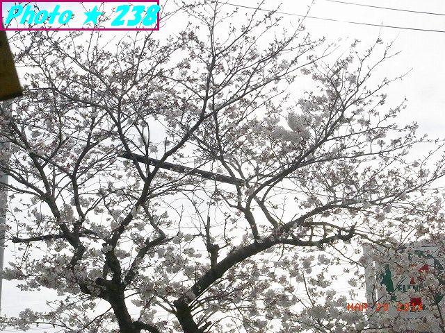 公民館・満開の桜