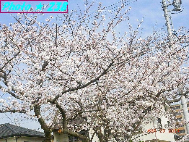 3/29公園の桜-1