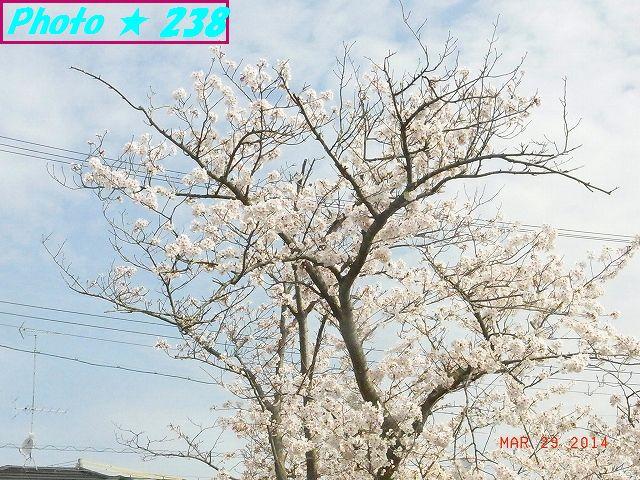 3/29公園の桜-2