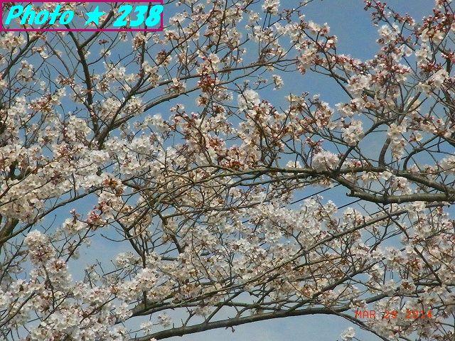 3/29公園の桜-3