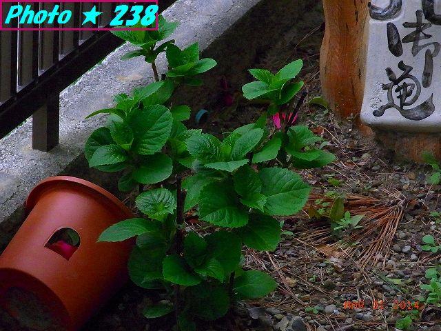 ピンクの紫陽花。