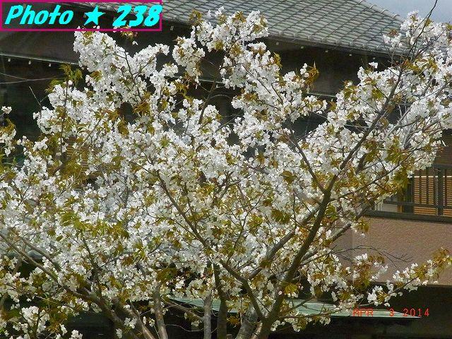 川沿いの桜-1
