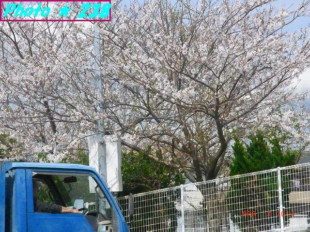 川沿いの桜-2