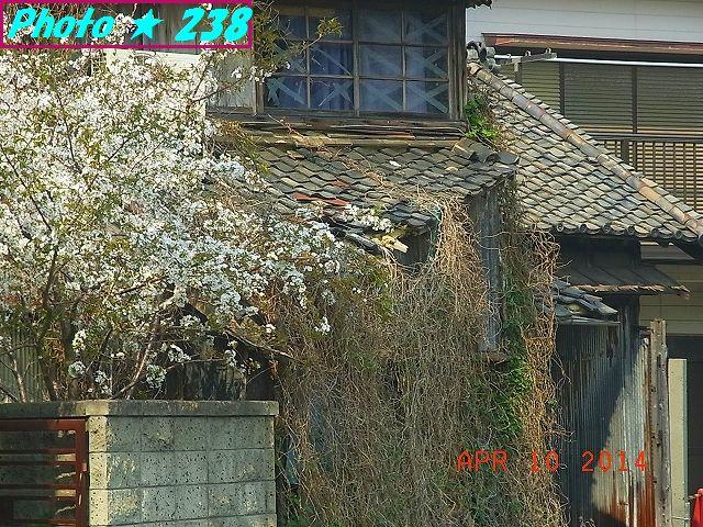 廃屋隣の桜