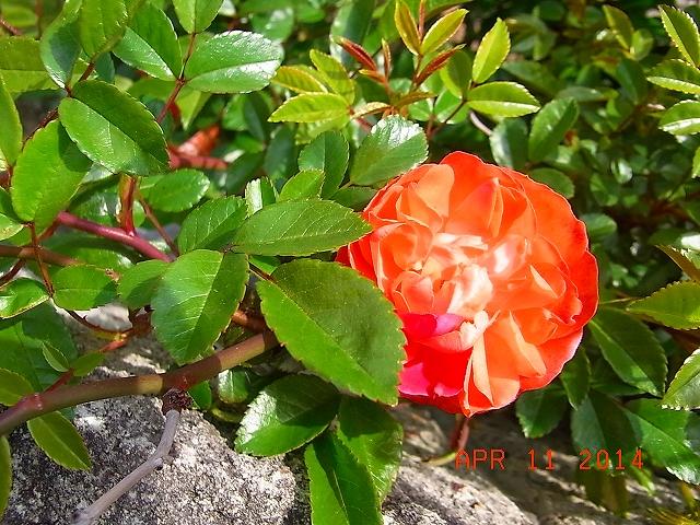 薔薇が咲いた。