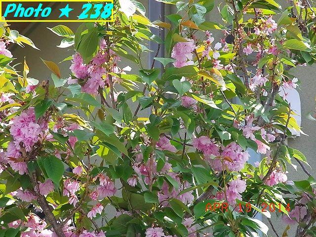 散り出したピンクの八重桜