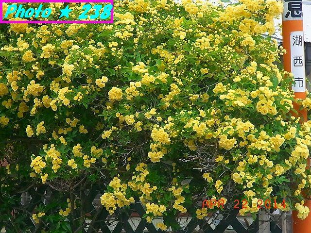 近所の黄色の薔薇