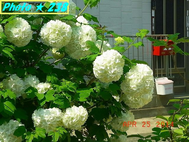 白紫陽花かな?