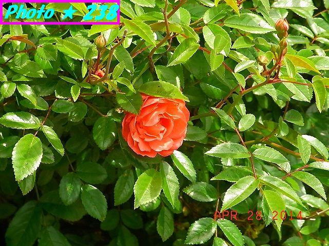 大きくなったバラの花