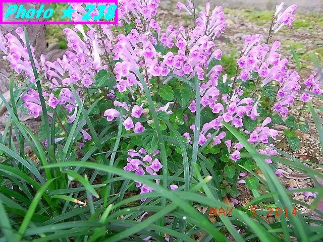 オオアラセイトウの花かな?