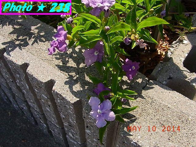 バンマツリも咲いている