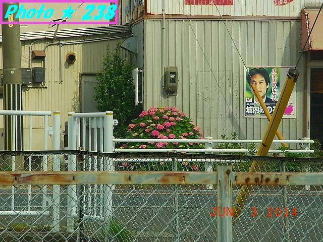 車から撮影のアジサイ②