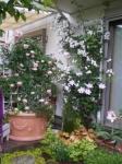 クレマチスピンクバラ