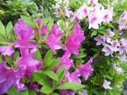 実家の花20140506