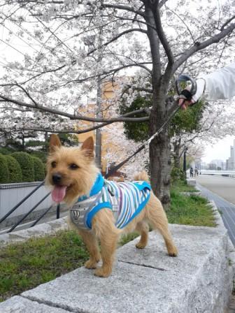 14桜140329_102157 - コピー