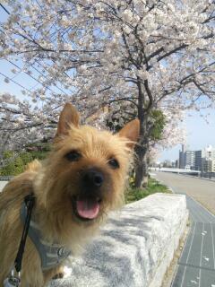 土手桜20140402_143108