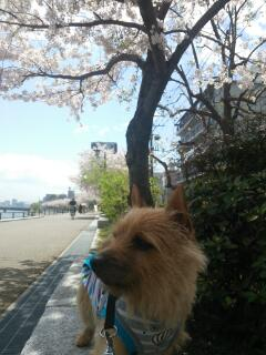 土手桜20140402_143313
