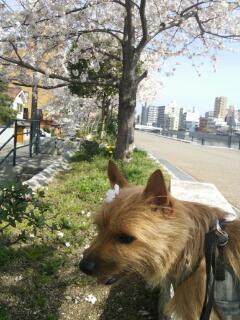 土手桜20140402_143646