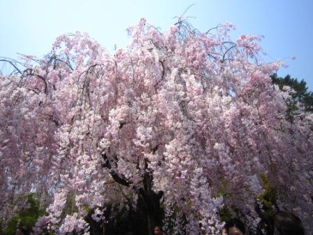 桜退蔵院IMG_8221 - コピー