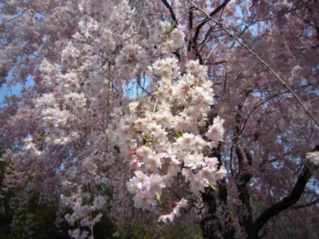 桜退蔵院IMG_8226 - コピー