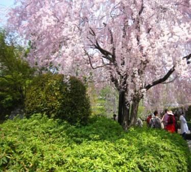 桜退蔵院IMG_8228 - コピー